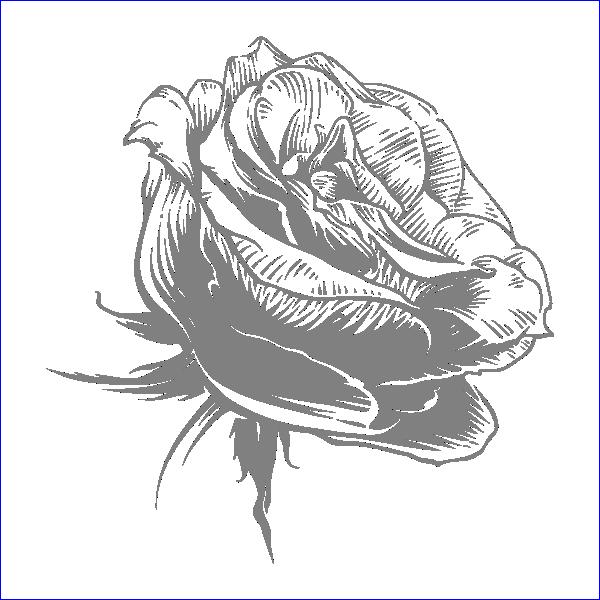 Роза, гравировка, макет, веток, вектор, качественный, бесплатно, Rose, engraving, layout, branches, vector, quality