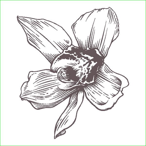 Роза, гравировка, макет, веток, вектор, качественный, нарцисс, бесплатно, Rose, engraving, layout, branches, vector, quality
